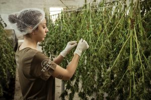 How to Grow Bigger Buds Outdoors