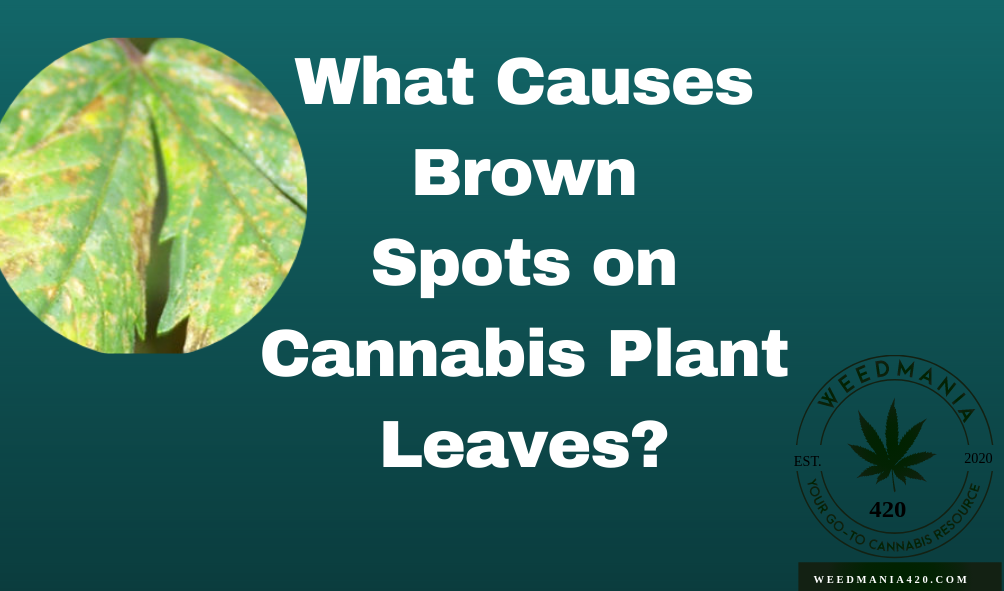 What Causes Brown Spots on Cannabis Plant Leaves?