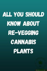 All You Should Know About Re-Vegging Cannabis Plants