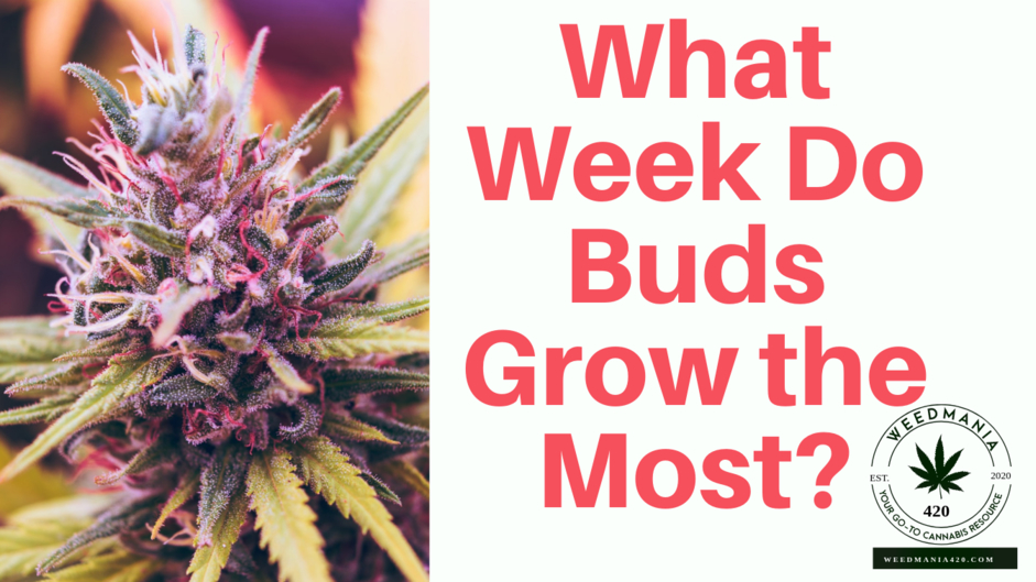 What Week Do Buds Grow the Most?