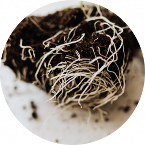 Can Cannabis Plants Recover from Root Rot?