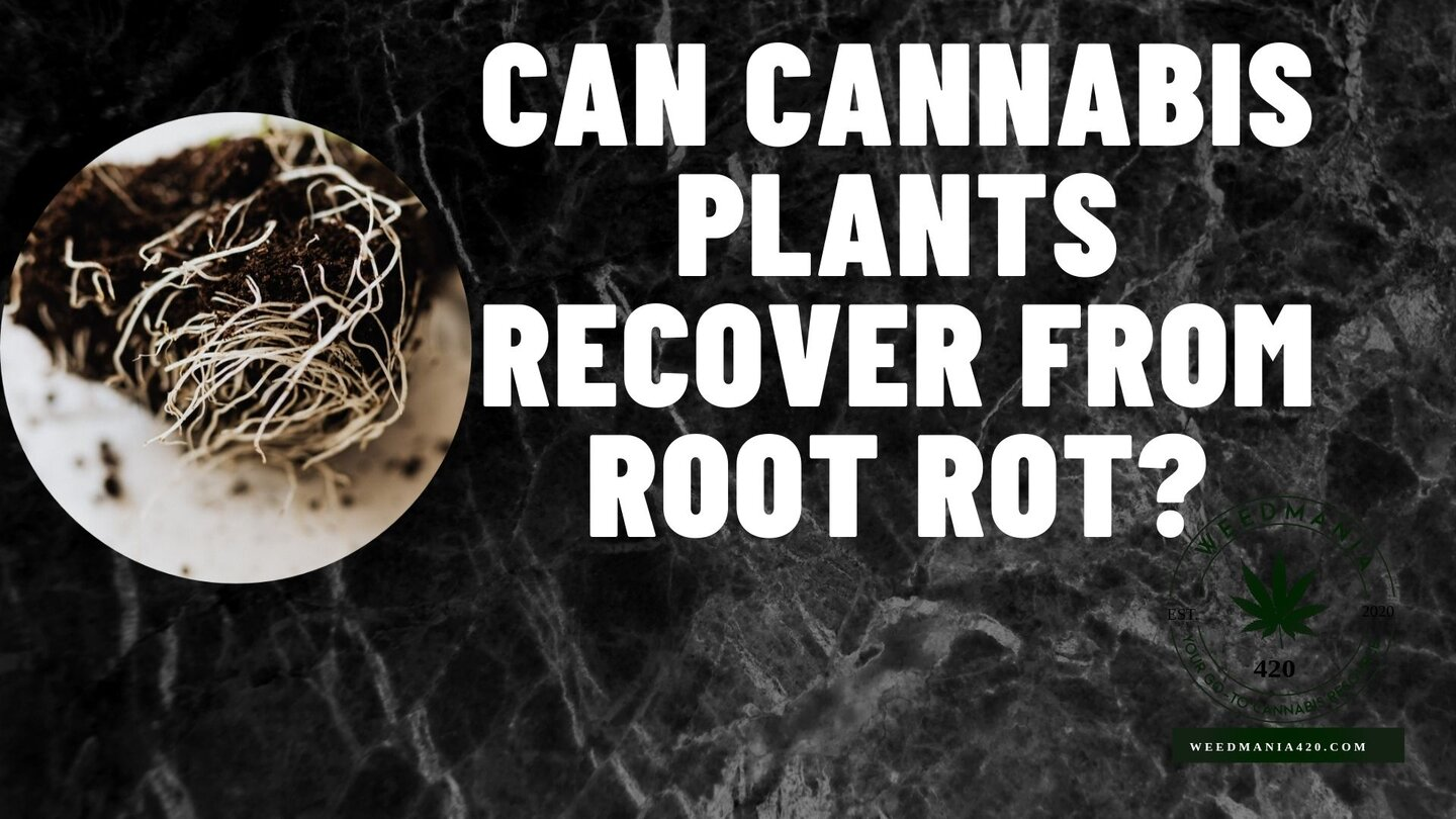 Can Cannabis Plants Recover from Root Rot