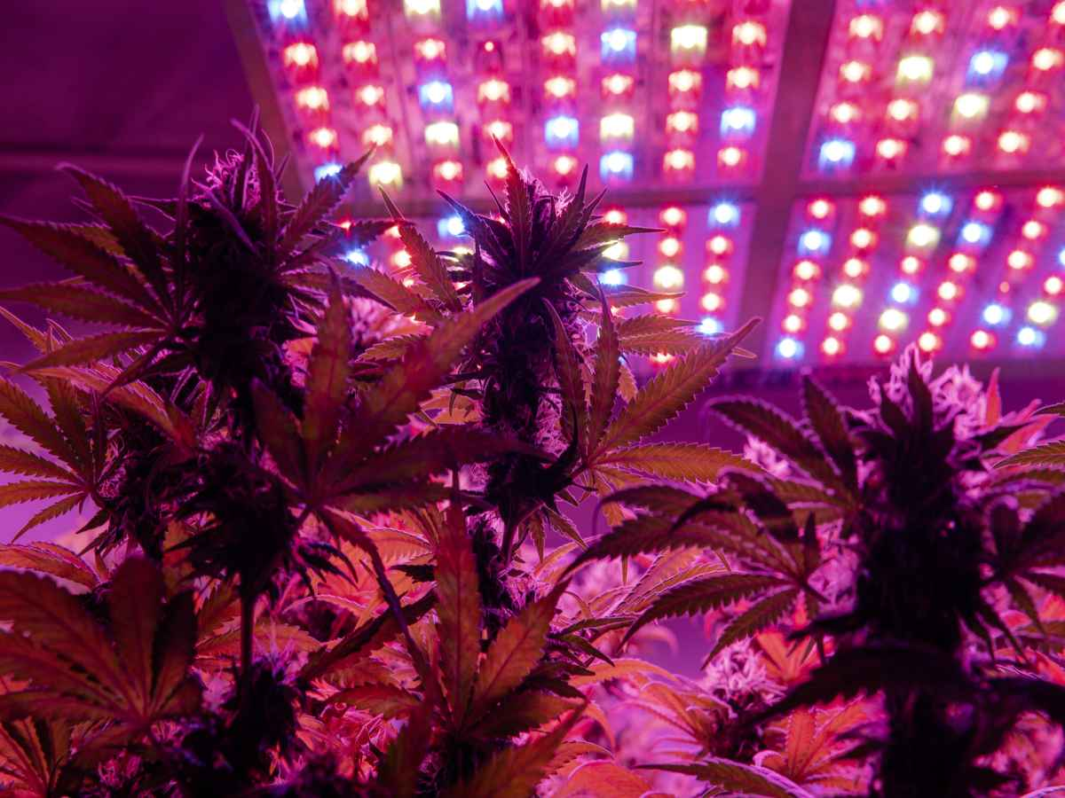 Best LED Grow Lights Under $100 For Cannabis