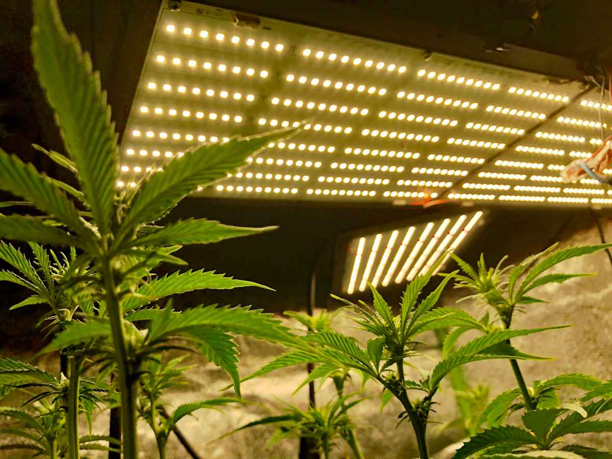 Best Led Grow Lights for Cannabis Under $200