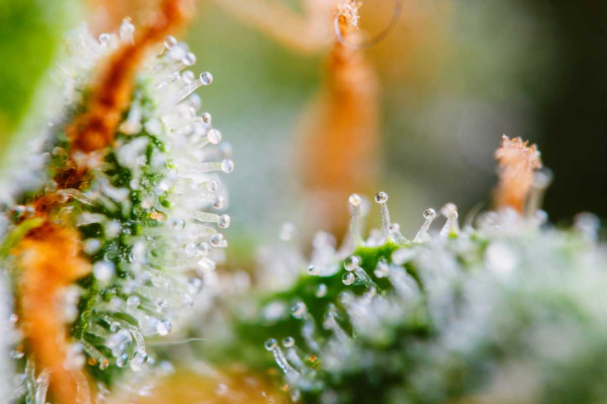 Does Rain Lower The Potency Of Cannabis?