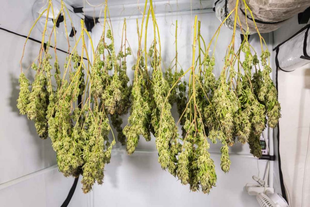How Much Do Buds Shrink During Drying?