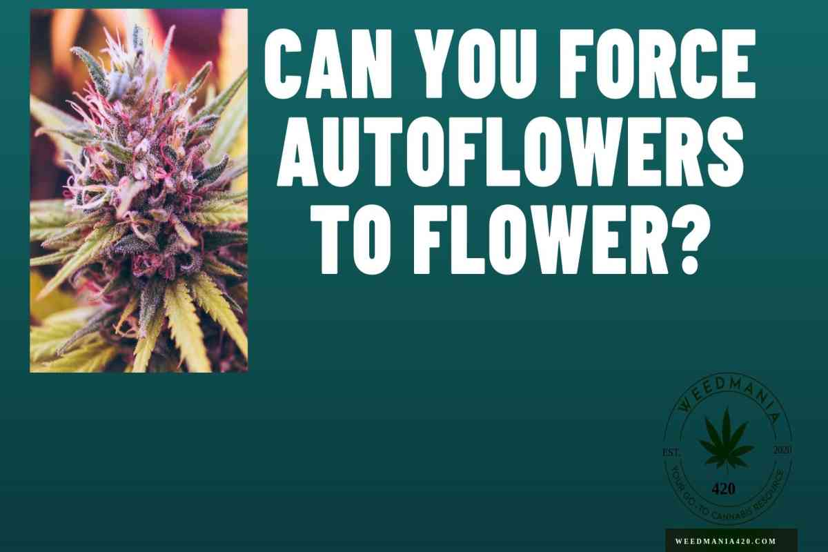 Can You Force Autoflowers To Flower?