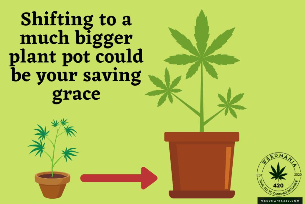 How To Fix Cannabis Roots Growing On Top Of Soil