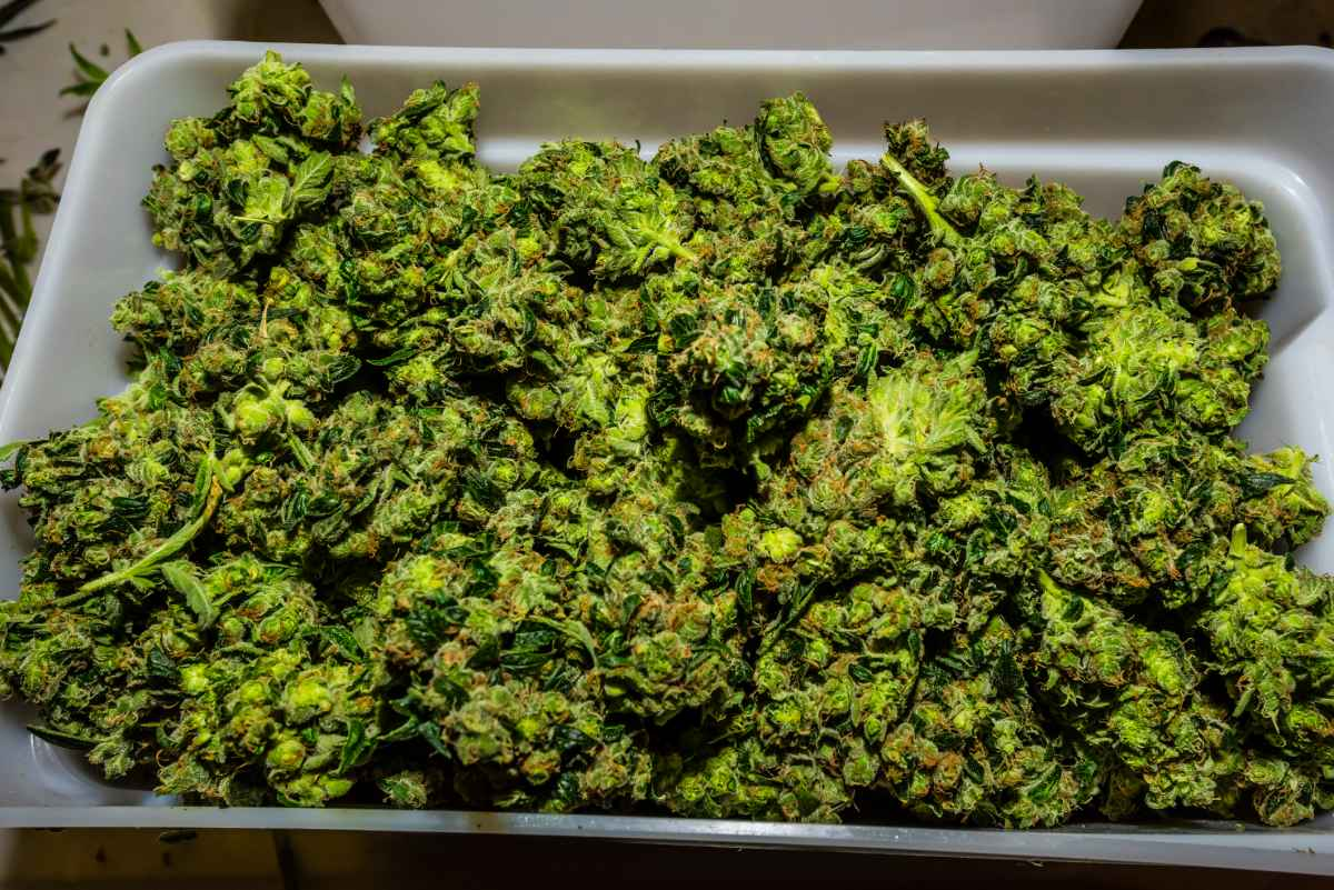 How To Dry Buds Without Hanging