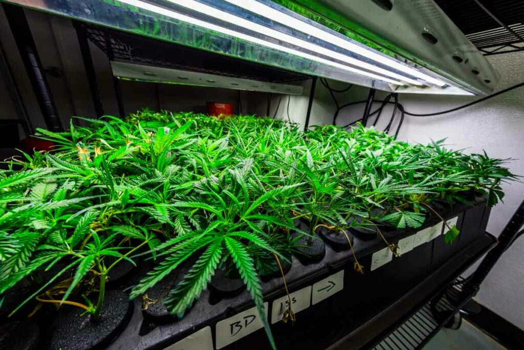 What Happens If Your Cannabis Flowers Too Early?