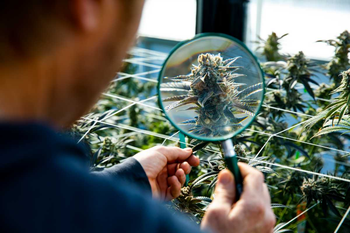 Are You Flowering Cannabis For Too Long?